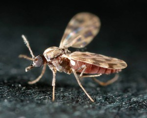 Culicoides